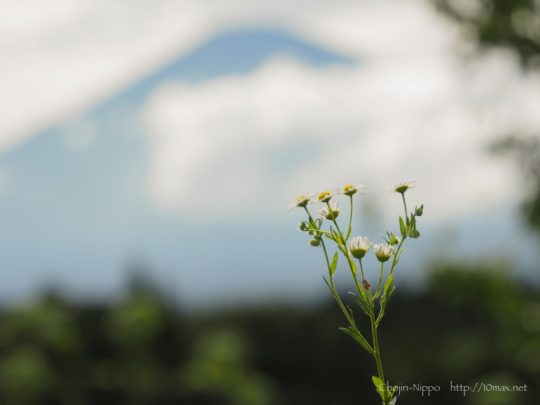富士山, ヒメジョオン