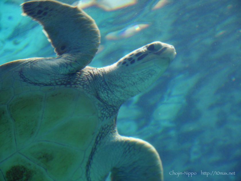 美ら海水族館 ウミガメ