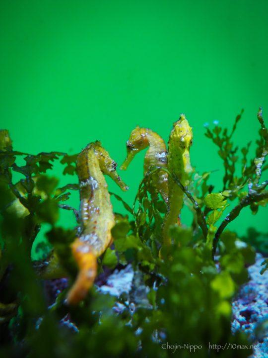 美ら海水族館 タツノオトシゴ