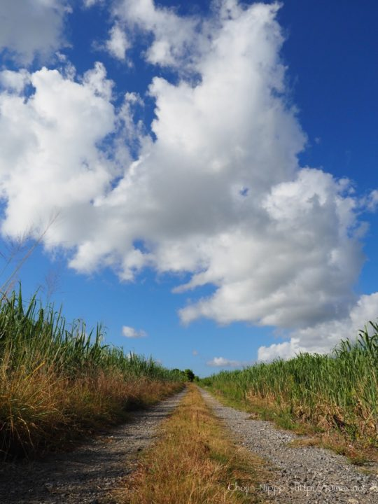 サトウキビ畑 石垣島