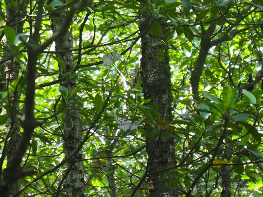 西表島 オオゴマダラ 日本最大 蝶