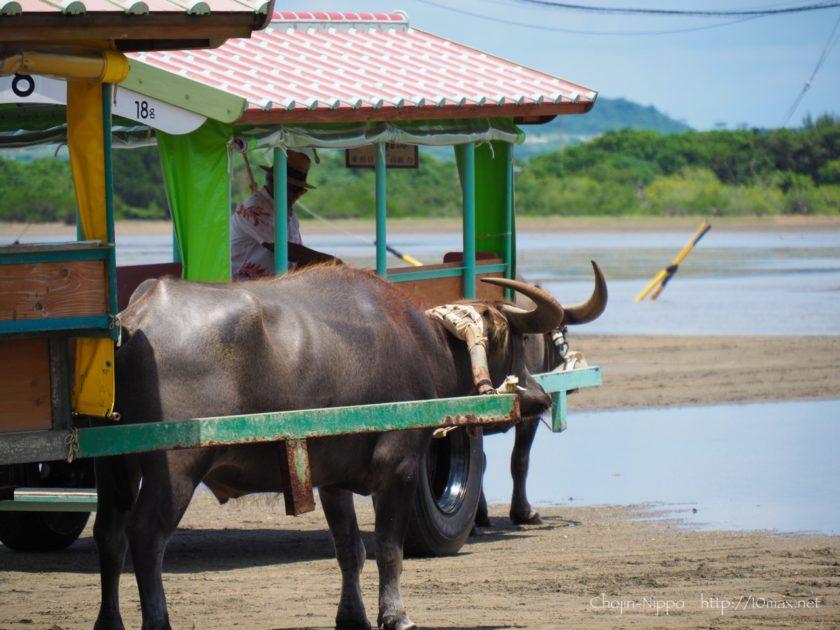 西表島 由布島 水牛