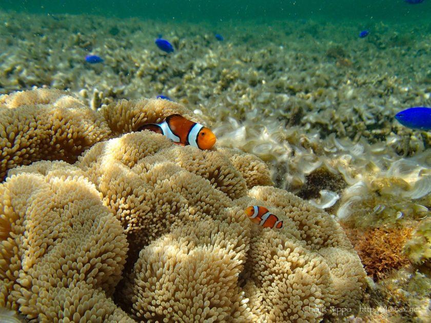 沖縄 石垣島 米原ビーチ シュノーケリング 熱帯魚 カクレクマノミ ニモ