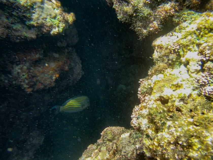 沖縄 石垣島 米原ビーチ シュノーケリング 熱帯魚 珊瑚