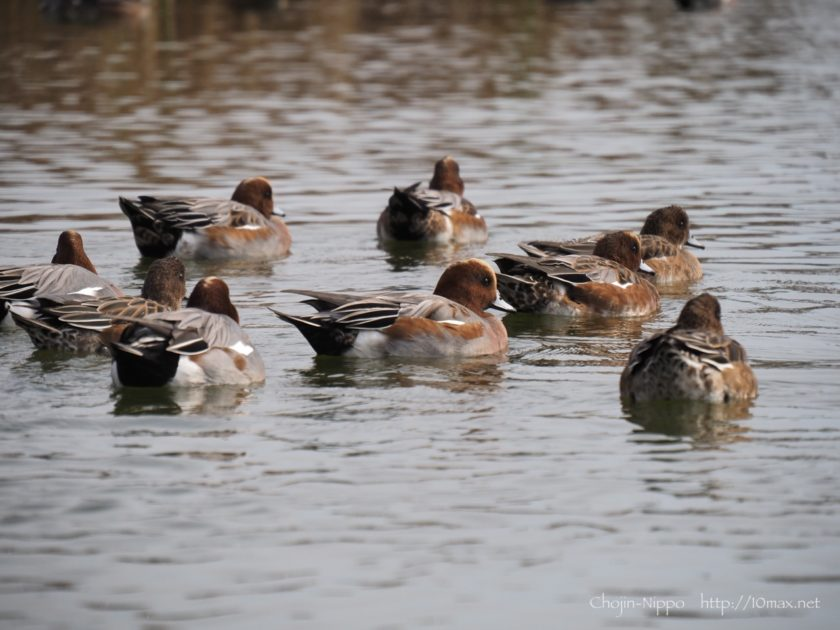 武蔵野の森公園 鴨