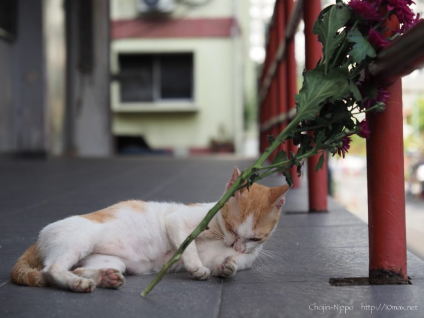 クアラルンプール 猫