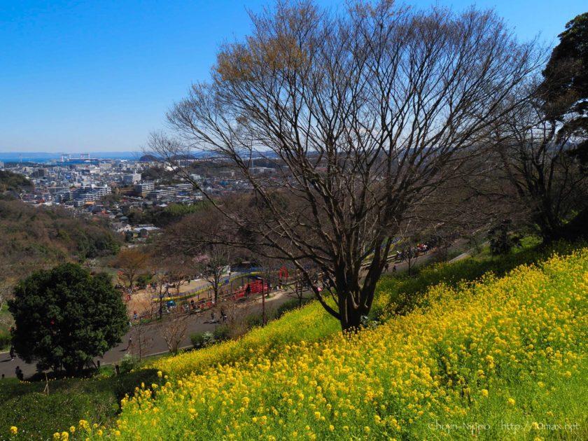 金沢動物園 菜の花
