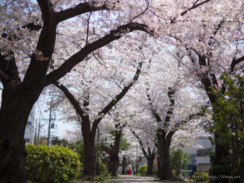 烏山川緑道 桜