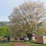 西湖キャンプ場テント村, 山桜